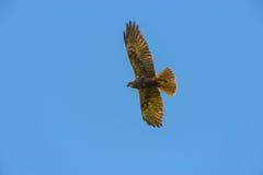 Falco-peregrinus - Falke im Himmel, Vogelkunde stockbild