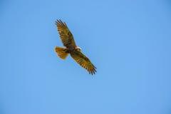 Falco-peregrinus - Falke im Himmel, Vogelkunde lizenzfreie stockfotos