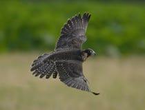 Falco peregrinus. Makes maneuver and prepare to attack stock photo
