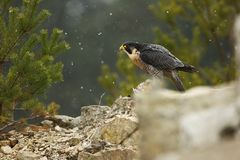 Falco peregrinus. Peregrine Falcon has a cosmopolitan extension. Naturally, it occurs not only in Antarctica, in parts of South America, New Zealand, and Stock Images