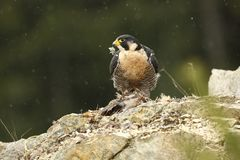Falco peregrinus. Peregrine Falcon has a cosmopolitan extension. Naturally, it occurs not only in Antarctica, in parts of South America, New Zealand, and Royalty Free Stock Photos