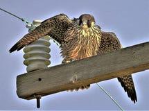 Falco Peregrinus, uitgespreide Peregrine Falcon stock foto's