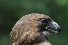 Falco perfetto di RT di profilo fotografie stock