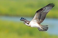 Falco pescatore Immagini Stock