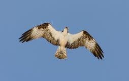 Falco pescatore Immagine Stock