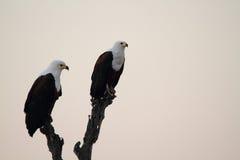 Falco pescatore africano Fotografie Stock Libere da Diritti