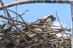 Falco pescatore attento Fotografia Stock