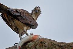 Falco pescatore bagnato ed affamato Fotografie Stock