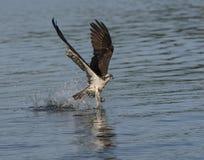 Falco pescatore che afferra un pesce dall'acqua Immagini Stock Libere da Diritti