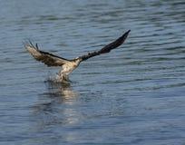 Falco pescatore che afferra un pesce dall'acqua Fotografie Stock