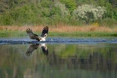 Falco pescatore che emerge dal lago Fotografia Stock Libera da Diritti