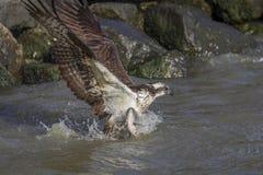 Falco pescatore che esce dall'acqua con la cena fotografia stock libera da diritti