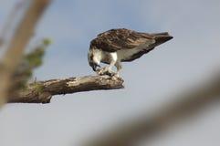 Falco pescatore che mangia pesce sul ramo 1 Fotografia Stock