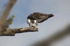 Falco pescatore che mangia pesce sul ramo 2 Fotografia Stock Libera da Diritti