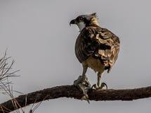 Falco pescatore che mangia pranzo in un albero immagini stock