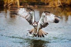 Falco pescatore che pesca un pesce Fotografie Stock Libere da Diritti