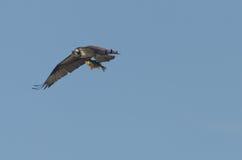 Falco pescatore che porta grande pertica Fotografie Stock Libere da Diritti