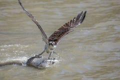 Falco pescatore che porta pesce 2 fotografia stock libera da diritti