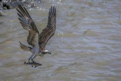 Falco pescatore che porta un pesce fotografia stock
