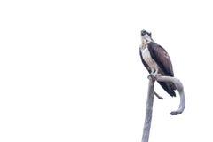 Falco pescatore che si siede su un ramo Immagini Stock Libere da Diritti