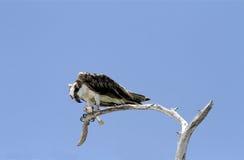 Falco pescatore che tiene un pesce in sue matrici Fotografie Stock