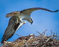 Falco pescatore con il pesce da alimentarsi Immagine Stock