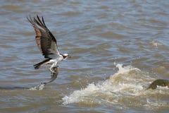 Falco pescatore con la cena fresca dal fiume immagini stock libere da diritti