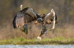 Falco pescatore con la trota Fotografia Stock Libera da Diritti
