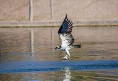 Falco pescatore con un fermo Fotografia Stock