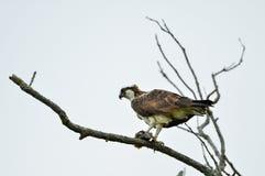 Falco pescatore con un pesce Fotografie Stock Libere da Diritti