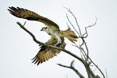 Falco pescatore con un pesce Immagine Stock Libera da Diritti