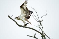 Falco pescatore con un pesce Fotografie Stock