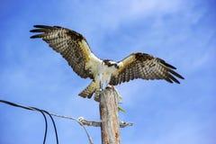 Falco pescatore con un pesce Immagini Stock Libere da Diritti