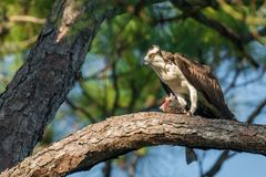 Falco pescatore con un pesce Fotografia Stock Libera da Diritti
