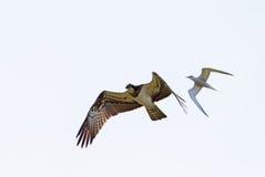Falco pescatore contro la sterna comune Immagine Stock