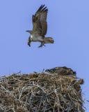 Falco pescatore Decending sul nido fotografia stock libera da diritti