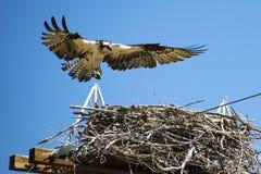 Falco pescatore della madre che entra per atterrare immagine stock libera da diritti
