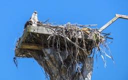 Falco pescatore ed il suo fare da baby-sitter nel nido Fotografie Stock Libere da Diritti