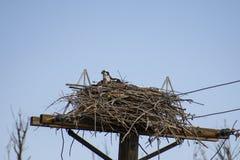Falco pescatore femminile nel suo nido fotografia stock