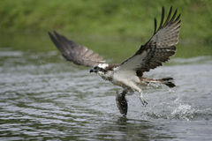 Falco pescatore, haliaetus del Pandion Immagine Stock Libera da Diritti