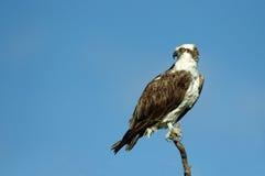 Falco pescatore - haliaetus del Pandion Immagini Stock Libere da Diritti