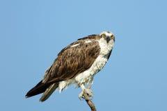 Falco pescatore - haliaetus del Pandion Immagini Stock