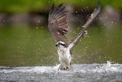 Falco pescatore in Maine Fotografia Stock Libera da Diritti