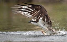 Falco pescatore in Maine Immagini Stock