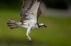 Falco pescatore in Maine Fotografie Stock Libere da Diritti