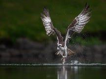 Falco pescatore in Maine Fotografia Stock