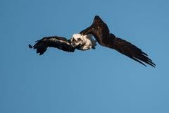 Falco pescatore in metà di rotolo Fotografie Stock Libere da Diritti