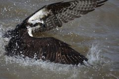 Falco pescatore nell'acqua che attacca pesce fotografie stock