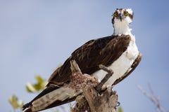 Falco pescatore nella brezza Immagine Stock Libera da Diritti