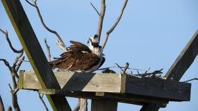 Falco pescatore in nido video d archivio